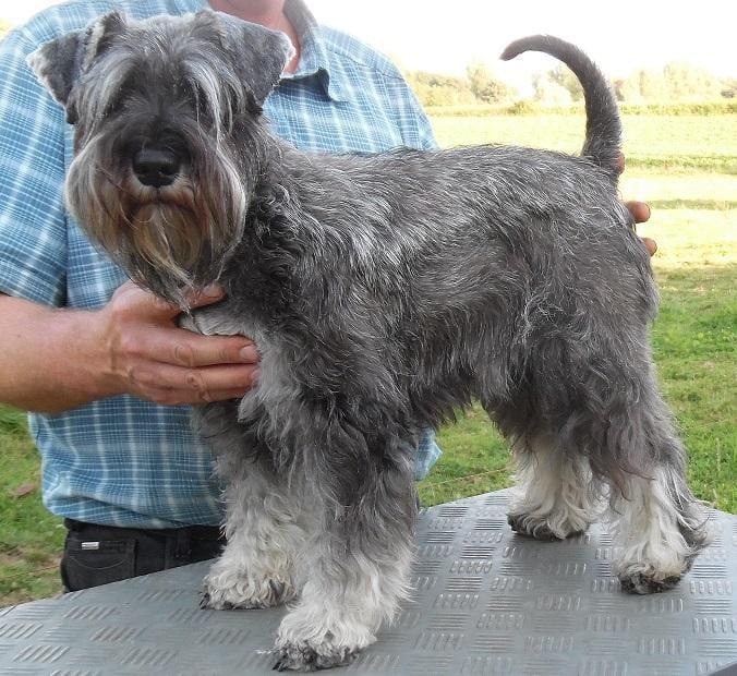 Chiot Parson terrier : 5  mâles – femelle 1 240550