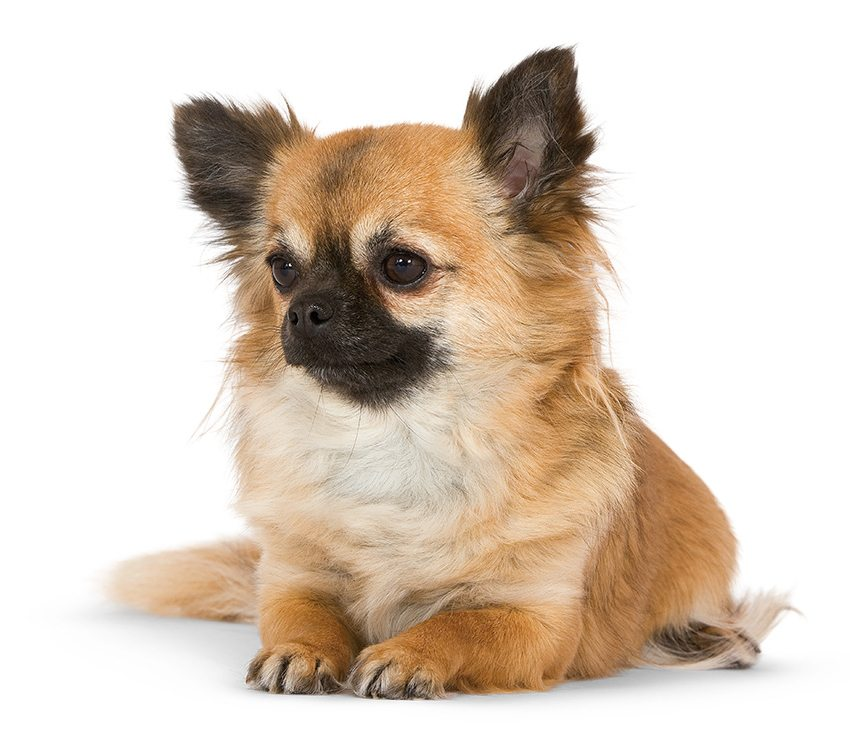 Caractère du Chihuahua