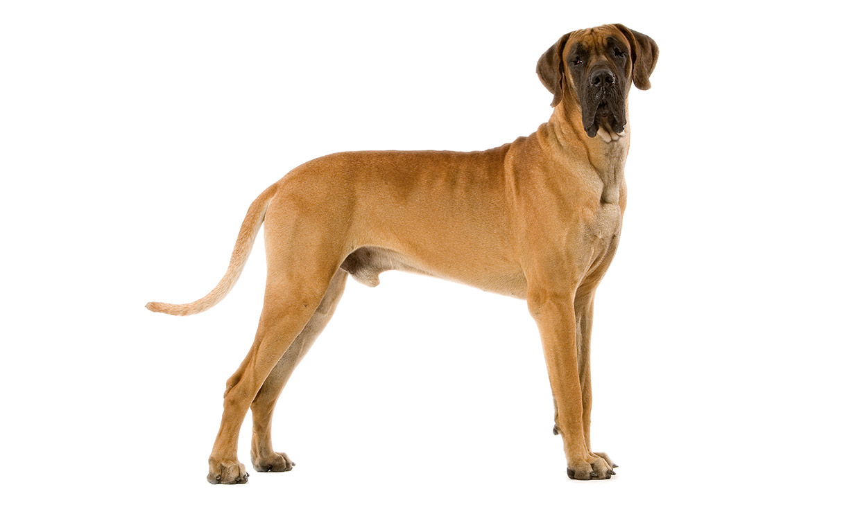 Morphologie du Dogue Allemand