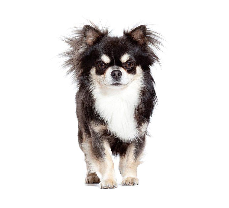 Morphologie du Chihuahua