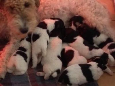 Chiot Fox terrier à poil dur : 3  mâles – femelle 1 238167