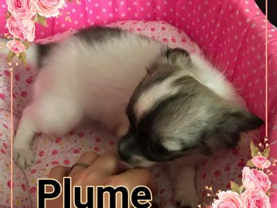 Chiot Chihuahua : 0  mâle – femelle 1 244039