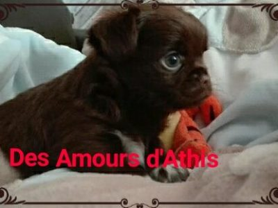 Chiot Chihuahua : 1  mâle – femelles 2 246910