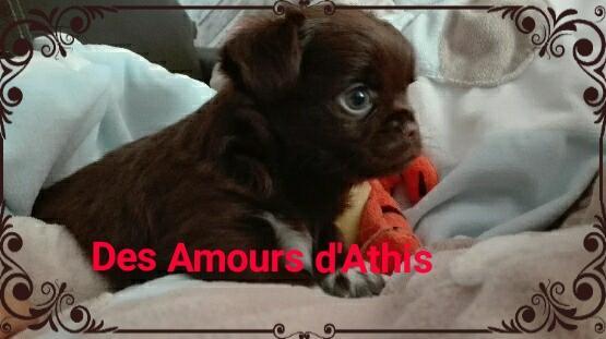 Chiot Chihuahua : 1  mâle - femelles 2 246910