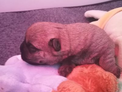 Chiot Cairn terrier : 2  mâles – 0  femelle 244491