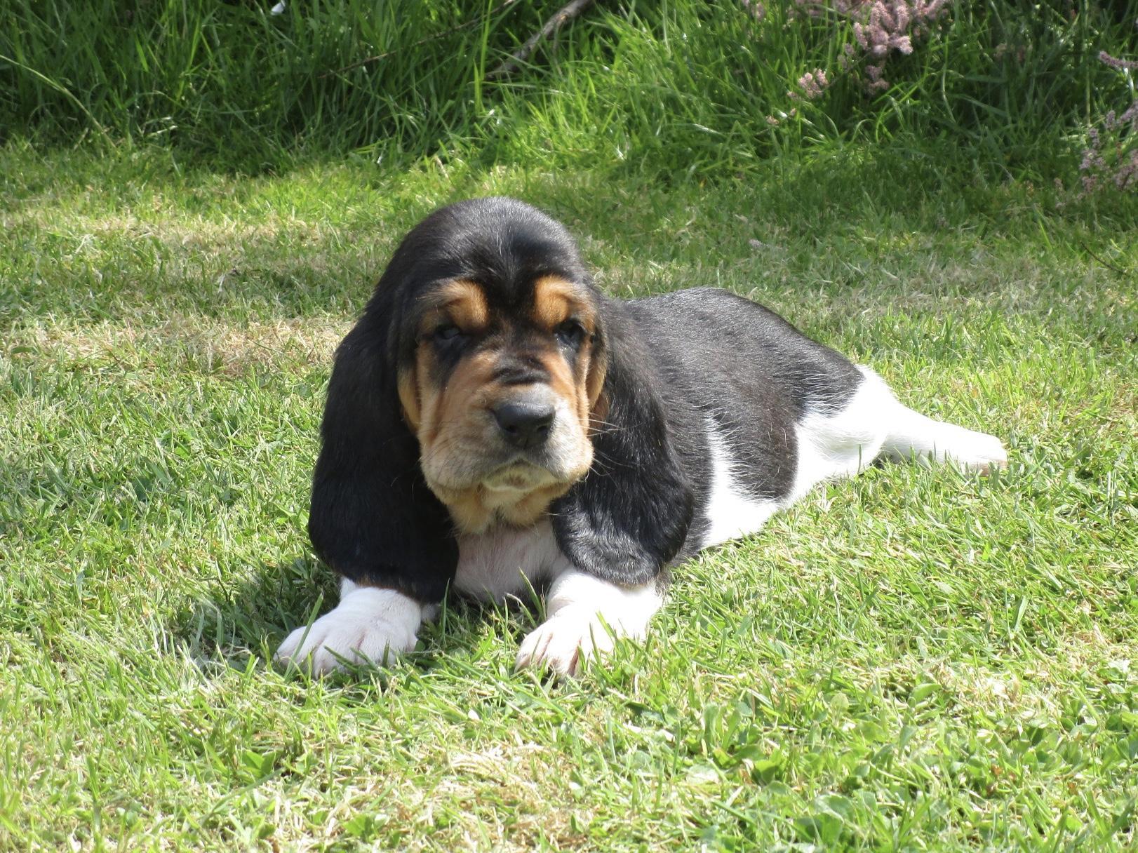 Chiot Basset hound : 0  mâle - femelle 1 245102