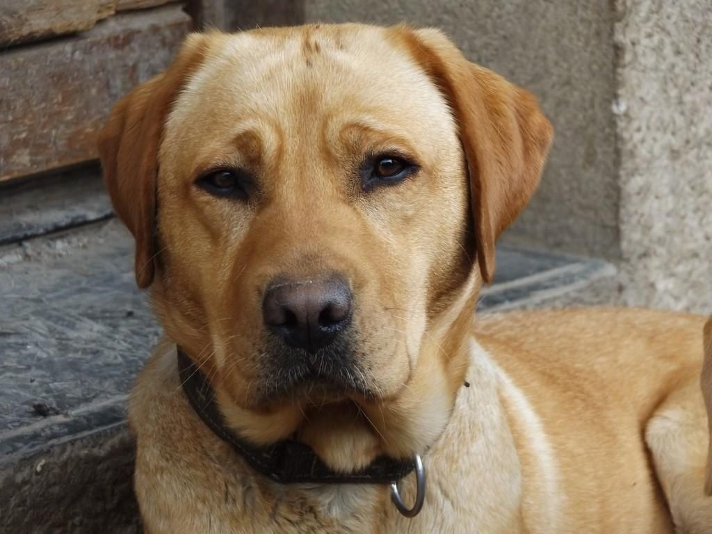 Chiot Labrador retriever : 1  mâle – femelle 1 235395