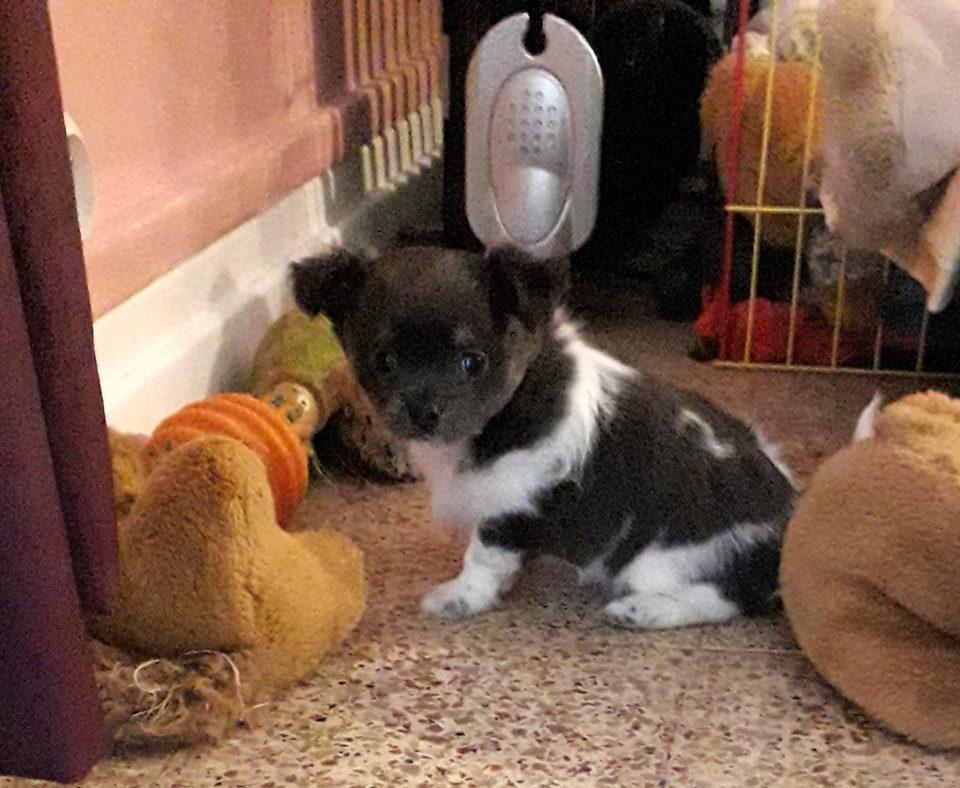 Chiot Chihuahua : 0  mâle – femelles 2 241685