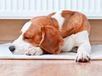 Préparer la mise-bas de la chienne