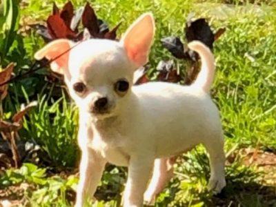 Chiot Chihuahua : 4  mâles – femelle 0 243308