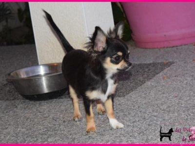 Chiot Chihuahua : 0  mâle – femelle 1 245169