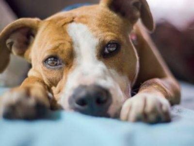 Que faire pendant la mise bas de la chienne