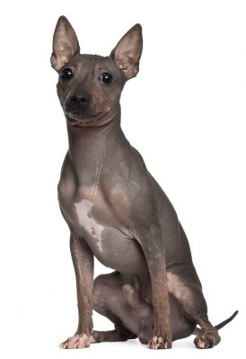 https://www.wikichien.fr/wp-content/uploads/sites/4/race_american_hairless_terrier-274x400.jpg