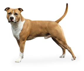 http://www.wikichien.fr/wp-content/uploads/sites/4/race_american_staffordshire_terrier.png