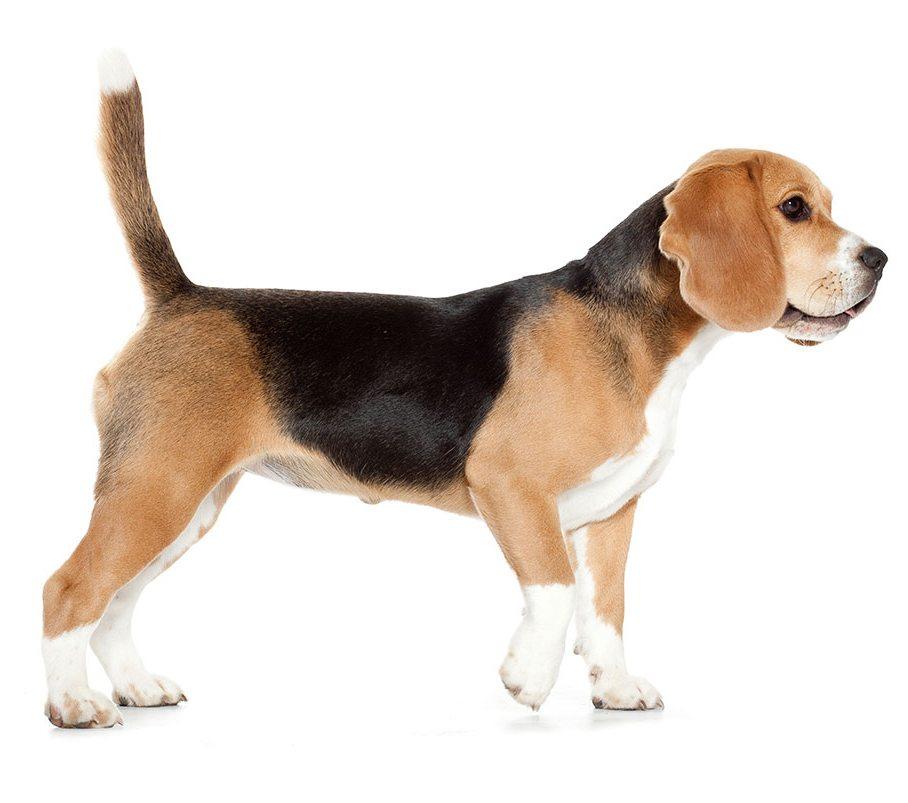 Morphologie du Beagle