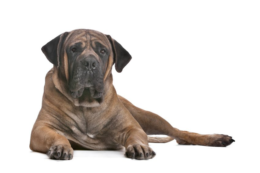 https://www.wikichien.fr/wp-content/uploads/sites/4/race_boerboel.jpg