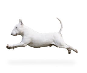 https://www.wikichien.fr/wp-content/uploads/sites/4/race_bull_terrier_miniature.png