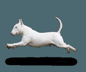 http://www.wikichien.fr/wp-content/uploads/sites/4/race_bull_terrier_miniature.png