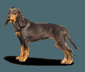 http://www.wikichien.fr/wp-content/uploads/sites/4/race_chien_courant_suisse_-_type_bruno_du_jura.png