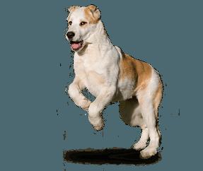 http://www.wikichien.fr/wp-content/uploads/sites/4/race_chien_de_berger_dasie_centrale.png