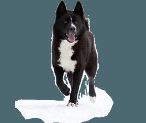 http://www.wikichien.fr/wp-content/uploads/sites/4/race_chien_dours_de_carelie.png