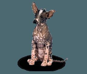 http://www.wikichien.fr/wp-content/uploads/sites/4/race_chien_nu_du_perou_petit.png
