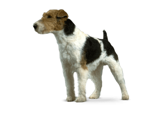 https://www.wikichien.fr/wp-content/uploads/sites/4/race_fox_terrier.png