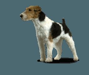 http://www.wikichien.fr/wp-content/uploads/sites/4/race_fox_terrier.png