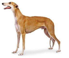 http://www.wikichien.fr/wp-content/uploads/sites/4/race_greyhound.jpg