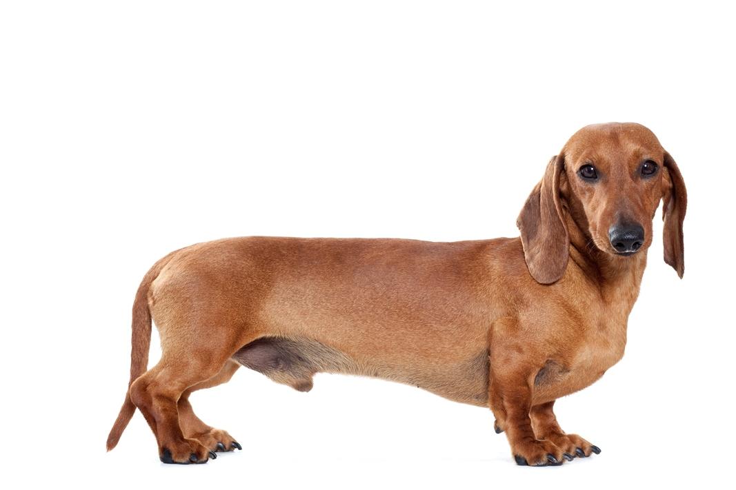 Race chien poil ras gris