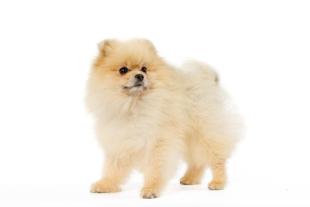 chien spitz nain chien et chiot fiche de race du chien spitz nain wikichien. Black Bedroom Furniture Sets. Home Design Ideas