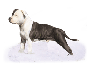 http://www.wikichien.fr/wp-content/uploads/sites/4/race_staffordshire_bull_terrier.png