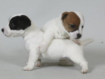 Chiot Jack russell terrier : 5  mâles – femelles 2 243607