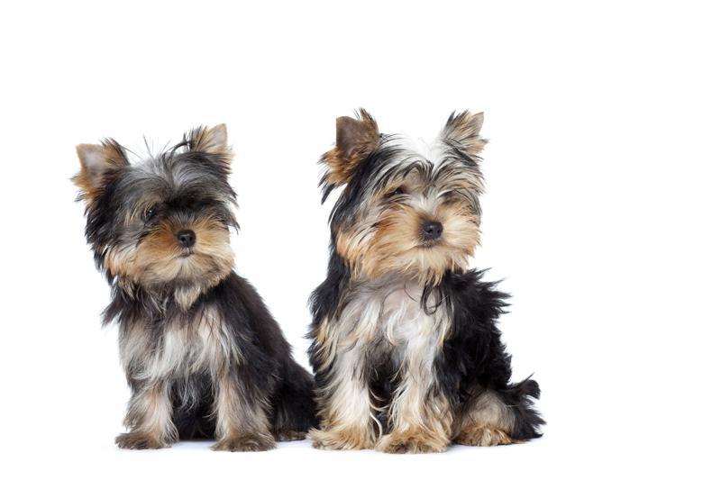 Chiot Yorkshire terrier : 0  mâle - femelles 2 235323