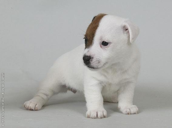 Chiot Jack russell terrier : 2  mâles - femelles 3 244111