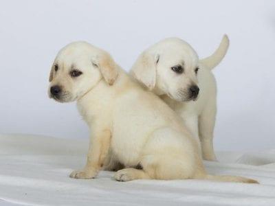 Chiot Labrador retriever : 1  mâle – femelle 1 241894