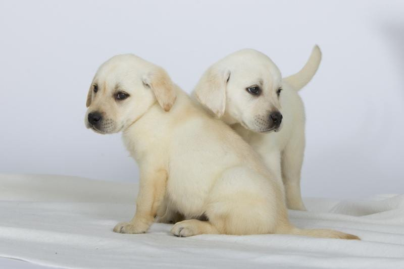 Chiot Labrador retriever : 0  mâle - femelle 1 241894