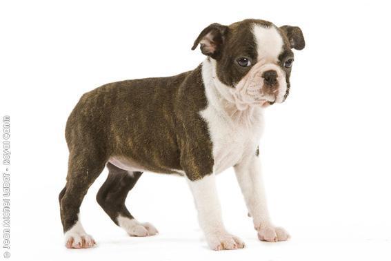 Chiot Terrier de Boston : 1  mâle - femelles 3 241886