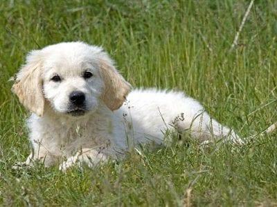 Chiot Golden retriever : 0  mâle – femelle 1 238142