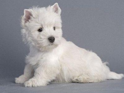 Chiot West highland white terrier : 0  mâle – femelle 1 245838