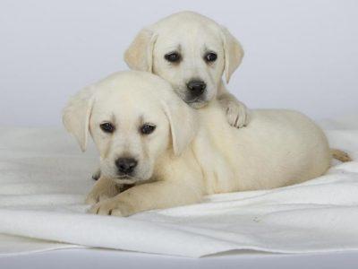 Chiot Labrador retriever : 2  mâles – femelles 5 245526