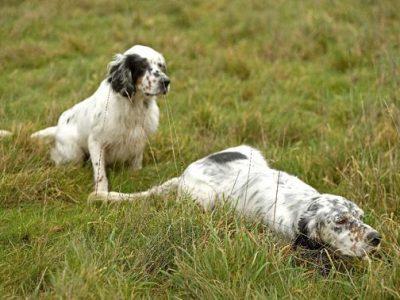 Chiot Setter Anglais : 1  mâle – femelles 6 244696
