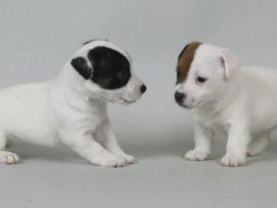 Chiot Jack russell terrier : 4  mâles – femelle 0 245846