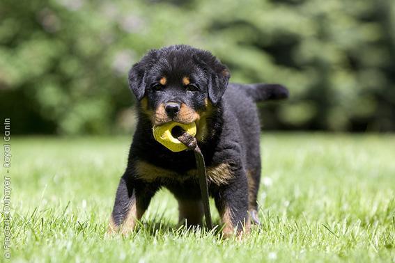 Chiot Rottweiler : 8  mâles - femelles 3 244460