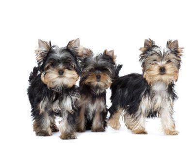 Chiot Yorkshire terrier : 3  mâles – femelle 1 246821