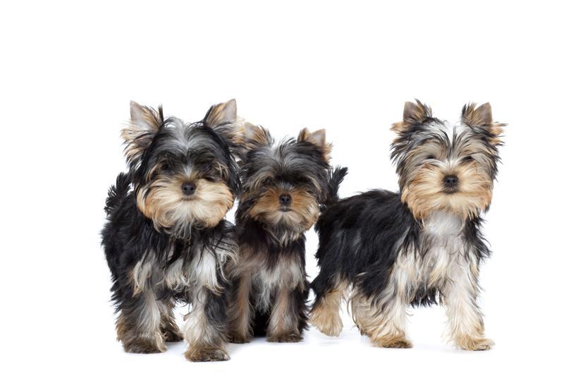 Chiot Yorkshire terrier : 3  mâles - femelle 1 246821