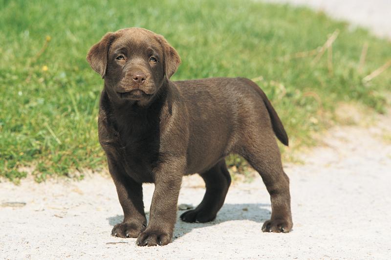 Chiot Labrador retriever : 2  mâles - femelles 2 238657