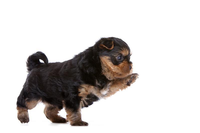 Chiot Yorkshire terrier : 0  mâle - femelle 1 241043