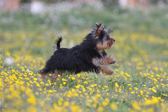 Chiot Yorkshire terrier : 1  mâle – femelle 0 244016
