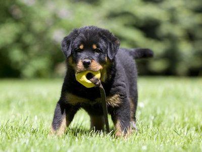 Chiot Rottweiler : 2  mâles – femelle 1 248009